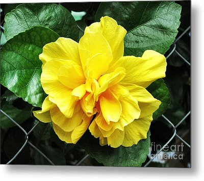 Large Yellow Tropical Flower Double Hibiscus Metal Print by Kathy Daxon