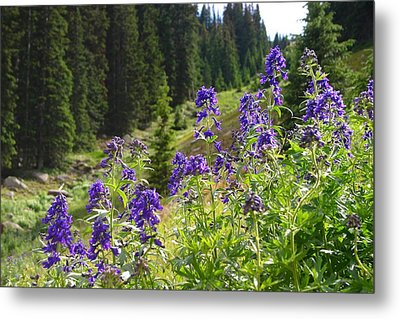 Larkspur Along Trail Ridge Road Metal Print by Perspective Imagery