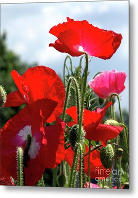 Metal Print featuring the photograph Last Poppies Of Summer by Baggieoldboy