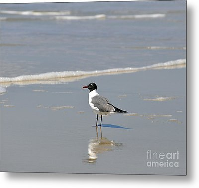 Laughing Gull Reflecting Metal Print by Al Powell Photography USA
