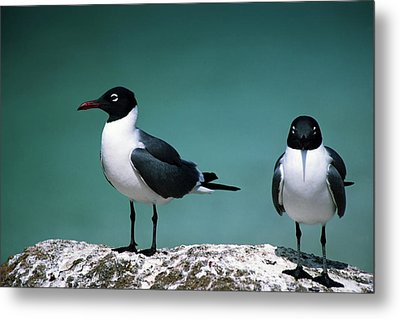 Metal Print featuring the photograph Laughing Gulls by Sally Weigand