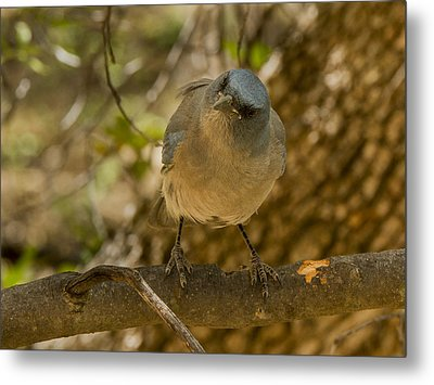 Laughing Jay Metal Print by Jean Noren