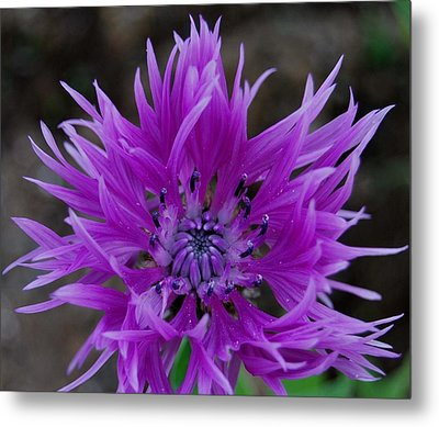 Lavender And Blue Metal Print by Marilynne Bull