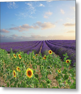 Lavender And Sunflower Flowers Field Metal Print