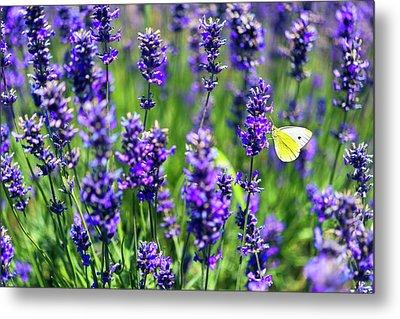 Metal Print featuring the photograph Lavender And The Heart by Ryan Manuel