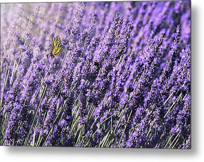 Lavender And Tiger Swallowtail In The Morning Light Metal Print by Diane Schuster