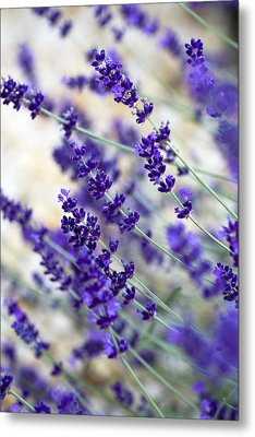 Lavender Blue Metal Print by Frank Tschakert