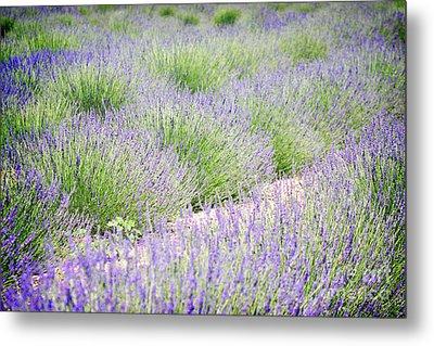 Lavender Field Farm Landscape Metal Print by Andrea Hazel Ihlefeld
