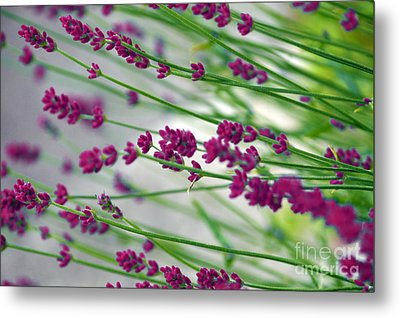 Metal Print featuring the photograph Lavender by Susanne Van Hulst