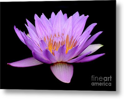 Lavender Tropical Day Lily Metal Print