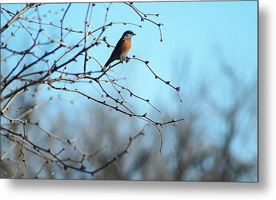 Lazuli Bunting Looks Out Metal Print