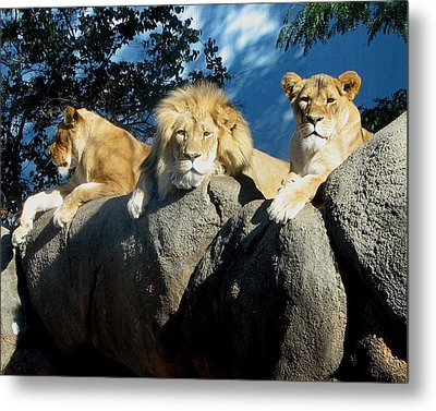 Lazy Day Lions Metal Print