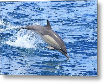 Leaping Dolphin Metal Print by Shoal Hollingsworth