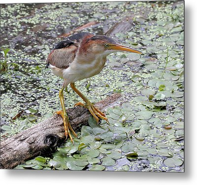 Metal Print featuring the photograph Least Bittern by Doris Potter