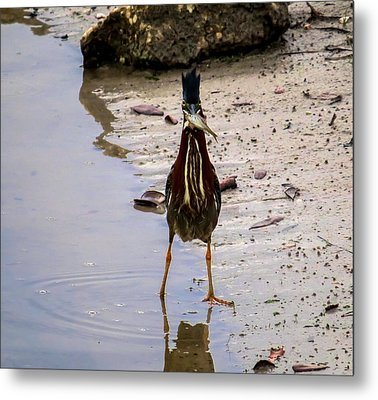 Least Bittern With A Fish Metal Print