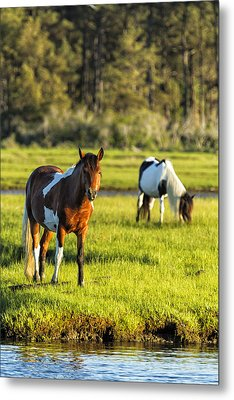 Leaving The Chincoteague Ponies Metal Print