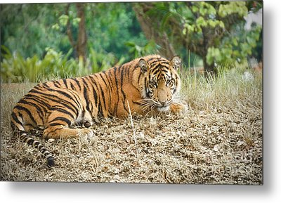 Leisurely Tiger Edition 2 Metal Print