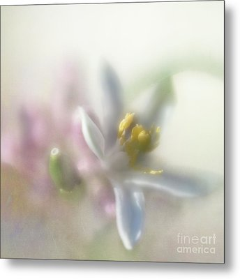 Metal Print featuring the photograph Lemon Blossom by Elena Nosyreva