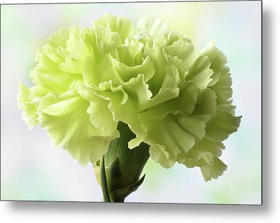 Metal Print featuring the photograph Lemon Carnation by Terence Davis