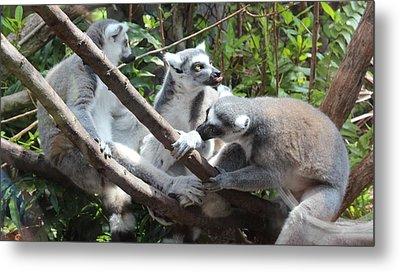 Lemur Family 1 Metal Print by Tim Michael Ufferman