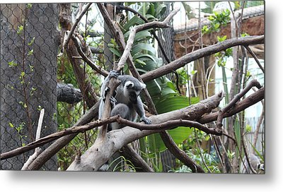 Lemur Scared Of Heights Metal Print by Tim Michael Ufferman