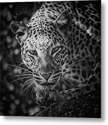 Leopard, Black And White Metal Print