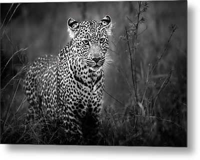Leopard Male Looking For Food In Masai Mara Metal Print by Maggy Meyer