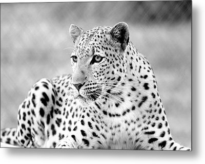 Metal Print featuring the photograph Leopard by Riana Van Staden