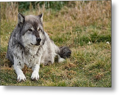 Leopold The Wolf Metal Print by Andrew Wells