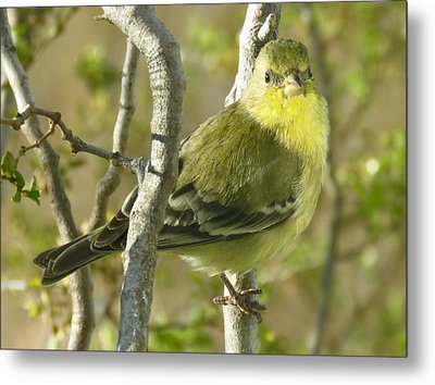 Lesser Goldfinch 1 Metal Print