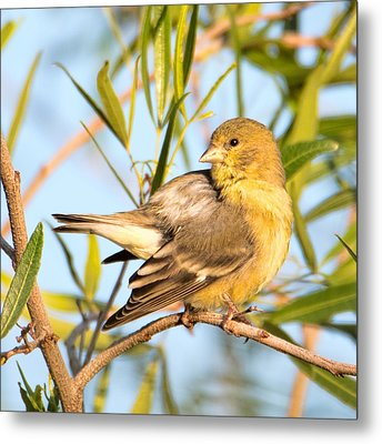 Metal Print featuring the photograph Lesser Goldfinch by Dan McManus