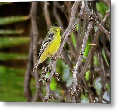 Metal Print featuring the photograph Lesser Goldfinch H57 by Mark Myhaver