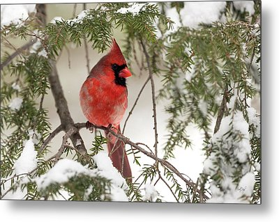 Metal Print featuring the photograph Leucistic Northern Cardinal by Everet Regal