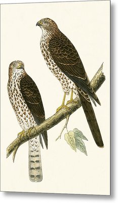 Levant Sparrow Hawk Metal Print