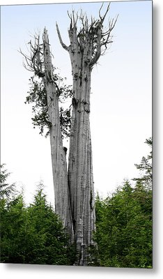 Life At The Top - Duncan Cedar Olympic National Park Wa Metal Print by Christine Till