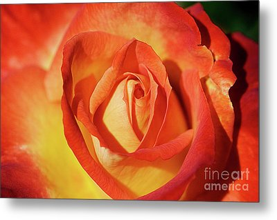 Life Is Like A Rose Peeping Through The Hardships Of Life To Bloom With Color Metal Print by Fir Mamat