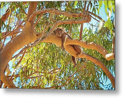 Life's Hard, Yanchep National Park Metal Print by Dave Catley