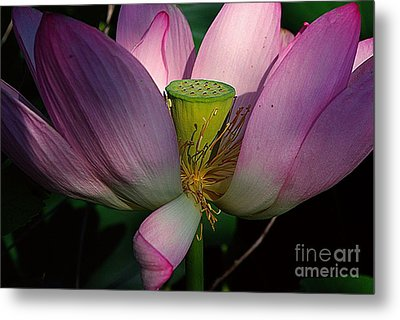 Light On The Lotus Metal Print by John S
