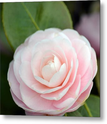 Light Pink Camellia Flower Metal Print