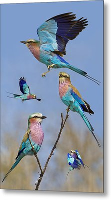Lilac-breasted Roller Collage Metal Print