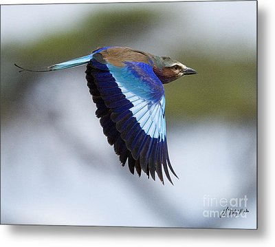 Lilac-breasted Roller-signed Metal Print by J L Woody Wooden
