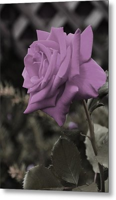 Lilac Rose Metal Print by Vijay Sharon Govender