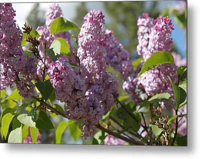 Metal Print featuring the photograph Lilacs 5548 by Antonio Romero