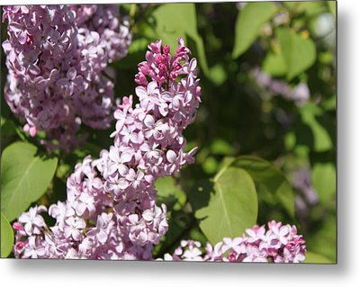 Metal Print featuring the photograph Lilacs 5552 by Antonio Romero