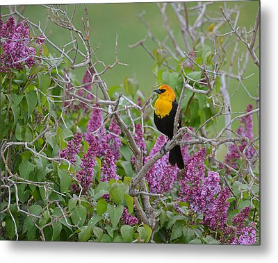 Lilacs And Yellowhead Blackbirds Metal Print
