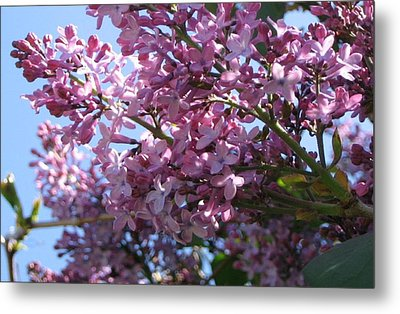 Lilacs In Bloom 2 Metal Print