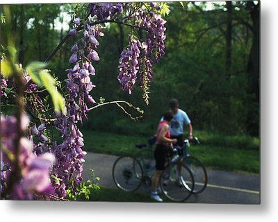Lilacs In Bloom Metal Print by Carl Purcell