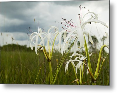 Lilies Thunder Metal Print by Christopher L Thomley