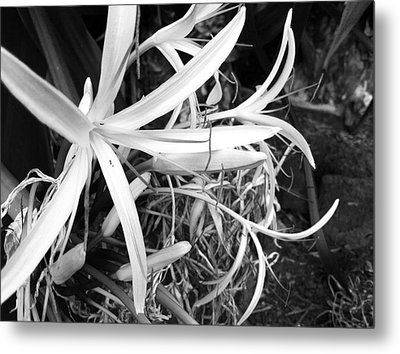 Lily- Black And White  Metal Print