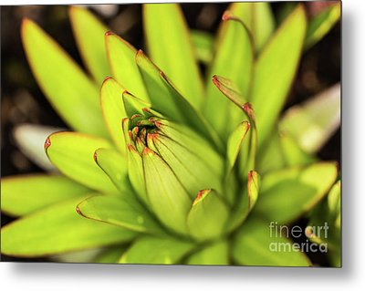Lily Bud Metal Print by Steve Purnell